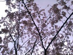 SAKURA(Cherry blossoms) in Kobe are almost  in full bloom♪