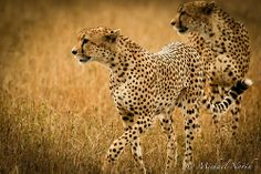 """Cheetah Adolescents #29"" - photo by Michael North, via Flickr"