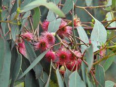 Canada Plants • Eucalyptus sideroxylon 'Rosea'