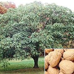 The Hall's Hardy Almond Tree features a medium sized hard-shelled almond, with a delicious sweet kernel. Description from pinterest.com. I searched for this on bing.com/images