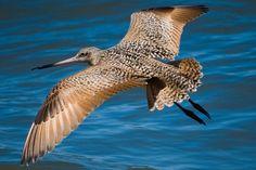 bar tailed godwit bird: