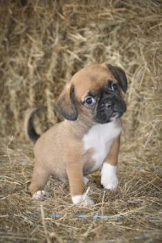 Most adorable puggle pup ever!