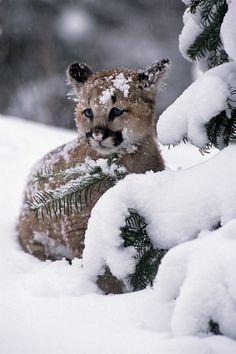 Mountain Lion Kitten by Robert Winslow