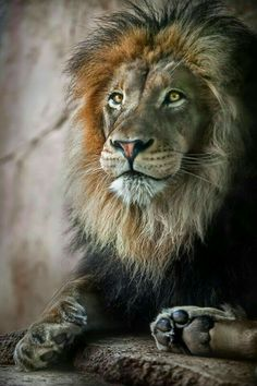 """""""Intelligence entails a strong mind, but genius entails a heart of a lion in tune with a strong mind."""" ―Criss Jami,Diotima, Battery, Electric Personality"""