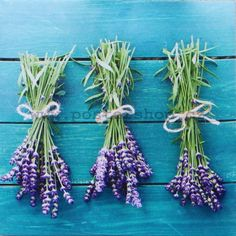 Beginner's Guide to Growing Lavender and Using Lavender - Mother Earth Living Lavender Seeds, Growing Lavender, Lavander, Lavender Green, Lavender Oil, Lavender Varieties, Spanish Lavender, French Lavender, Container Gardening