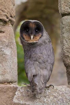 OwlTree — Melanistic Barn Owl