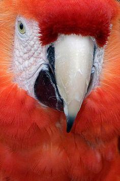 Scarlet macaw-so beautiful