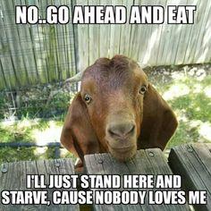 Yep  #babygoatfarm  #goatmemes