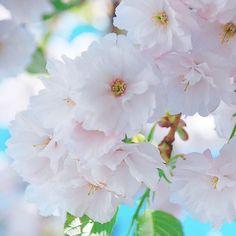 【vingt.trois.avril】さんのInstagramをピンしています。 《୨୧ おはようございます ︎ஐ。 淡いピンク色の桜 🌸 🌸🌿 ふんわりドレス & 卒業式袴 入荷しました☺︎‧˚₊*̥ ❁︎ 🌿❁︎ 🌿 #hokkaido flowers ❀︎ #love ❁︎ 🌿 #はなまっぷ #ロケフォト #お写んぽ  #weddingphoto  #nikon #nikontop #カメラ  #風景 #景色  #写真  #マクロ #macro  #macrophotography #パステル #ふんわり #桜 #pink #花 #beauty  #likes #landscape #beautiful #weddingphotography  #リゾート #プレ花嫁 #ドレス選び #ファインダー越しの私の世界》