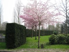 prunus accolade - Google Search