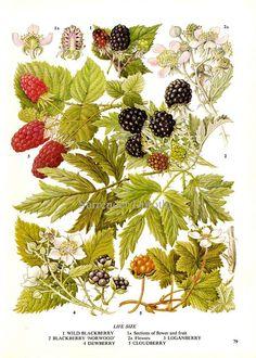 Would be beautiful as a tattoo - Blackberry Black Raspberries & Loganberries