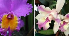 Manual completo para el cultivo de orquídeas del género Cattleya