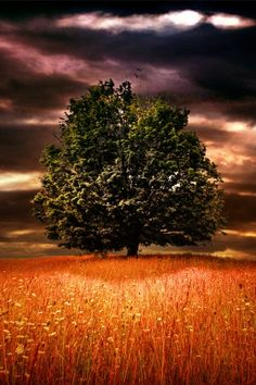 This picture is quite dramatic with the purple clouds, green tree & orange grain...