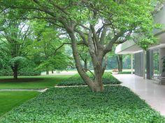 Pachysandra, winterhard en altijd groen. Mooi contrast met gras