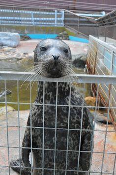Harbor Seal Harbor Seal, Sea Lions, Seals, Mammals, Adoption, Cute Animals, Ocean, Manga, Illustration