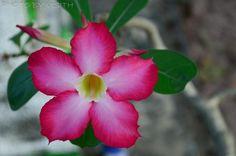 Flower of Dessert Rose - Adenium obesum