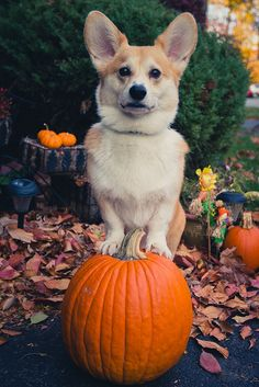 #Welsh #Corgi with a pumpkin