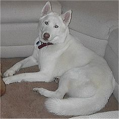 White german shepherd husky mix puppies