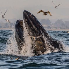 Photograph by @paulnicklen for @natgeo. A humpback whale lunge feeds in Monterey Bay California. They use the oceans surface as a net forcing herring against this layer and then burst through surface tension mouth agape filling their cavernous mouths with thousands of anchovies. Please #follow me on @paulnicklen to see an image of looking into the open mouth of a humpback whale. It is a perspective I have always dreamed of photographing. With@sealegacy @cristinamittermeier and @toddwells92…