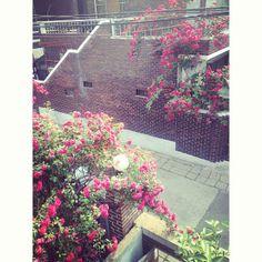 .@Kelly Schmidt | #20130526 #sunnyday #rose #home #street #korea #deagu #feelgood #fly #flower ... | Webstagram