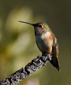 The Rufous Hummingbird (Selasphorus rufus) is a small hummingbird, about 3 inches with a long, straight & very slender bill. Their breeding habitat is open areas & forest edges in western North America from southern Alaska to California. These birds are known for their incredible flight skills. Most winter in wooded areas in the Mexico state of Guerrero, traveling over 2,000 miles by an overland route from its nearest summer home—a prodigious journey for a bird weighing only three or four…