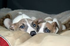 Brandi Giacchetta uploaded this image to 'Other Greyhound Pups'.  See the album…