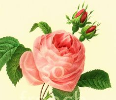 This print is taken from a french book published in 1983. Pierre- Joseph Redoute (1759 - 1840) was a French painter and botanist known for his watercolors of flowers and fr... ➡️ http://jto.li/yBve8
