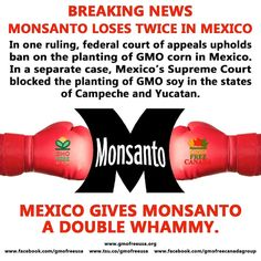 Opponents of GMOs have claimed victory after Mexico's Supreme Court blocked... http://ecowatch.com/2015/11/09/monsanto-mexican-court-gmos/