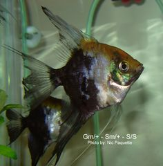 Angel fish types - Guide to help identify Smokey Blue Koi (Smokey Gold Marble Blushing)  n some cases the pigmentation resulting from the gold marble mutation can be seen as darker spots on the smokey background, however this does not occur in all cases.