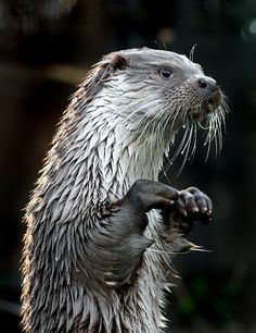 ~~The Actor ~ Otter strikes a perfect pose by *thrumyeye~~