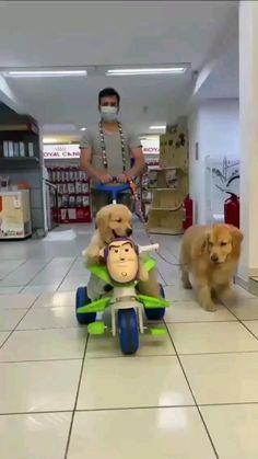 cute video golden retrievers