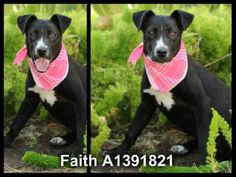 ADOPTED !FAITH 7 mo. old obedient, eager to pls puppy. https://www.facebook.com/photo.php?fbid=533929383334154=a.533929363334156.1073741911.351545154905912=1