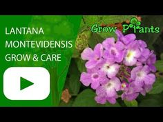 Lantana montevidensis - Learn how to grow Lantana montevidensis, plant information - climate, zone, uses, growth speed, water, light, planting & bloom