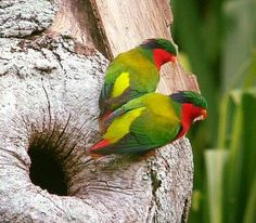 Rimatara Lorikeet, Kuhl's Lory, or Kura - South Pacific Islands Tropical Birds, Exotic Birds, Colorful Birds, Kinds Of Birds, All Birds, Most Beautiful Birds, Animals Beautiful, In Natura, Australian Birds