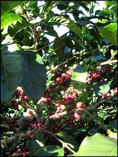 Green beans, coffee cherries, Doka Estate, Alajuela, Costa Rica
