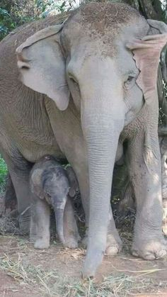 Oh my goodness! A one hour old baby Elephant.This is the true size of a newborn baby elephant! The Animals, My Animal, Baby Animals, Elephants Never Forget, Save The Elephants, Baby Elephants, Beautiful Creatures, Animals Beautiful, Regard Animal