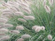 Pennisetum alopecuroides 'Hameln'; A compact, early-flowering form, with greenish white spikelets, maturing to gray-brown. H 2–5 ft (0.6–1.5 m); S 2–4 ft (0.6–1.2 m).