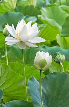 Lotus Flowers More