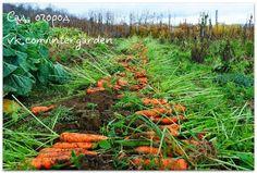 Морковные секреты в копилку - http://leninskiy-new.ru/morkovnye-sekrety-v-kopilku/  #новости #свежиеновости #актуальныеновости #новостидня #news