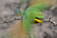 Ntokozo Hlophe took this awesome photo that has bird, animal, bee eater in it Daily Photo, The World's Greatest, Minimal, Photography, Photograph, Fotografie, Photoshoot, Fotografia