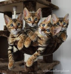 SOOO LOVELY BENGAL KITTENS!! More photos of our cats and kittens at www.wildnsweetbengals.com