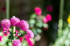 写真 ピンク色の菊 2013 団子状の菊もあるんですね。(^^ゞ