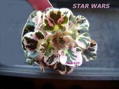 Easy To Grow Houseplants Clean the Air Star Wars Baker Dark Purple Ruffled Starpink And White Fantasy, White Edge. Easy To Grow Houseplants, Whatsoever Things Are Lovely, Perennial Flowering Plants, Saintpaulia, Snake Plant, Orchids, Beautiful Flowers, Star Wars, African Violet