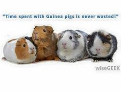 Time spent with Guinea pigs is never wasted!