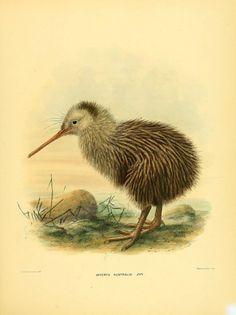 Vintage kiwi bird art print Antique prints by AntiqueBotanicalArt Zoo 2, New Zealand Tattoo, Vogel Tattoo, Kiwi Bird, Nz Art, Vintage Birds, Vintage Decor, Bird Illustration, Fauna