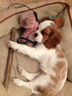 it's hard work being a Cavalier king charles spaniel puppy. Cavaliers of Healdsburg, breeder