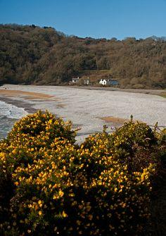 Pwll Du Beach with blooming furze bushes, Gower Peninsula, Wales Wales Uk, South Wales, Swansea Wales, Gower Peninsula, Cymru, Staycation, Homeland, Great Britain, Fathers
