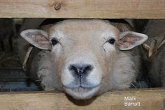sheep.. I see this ever morning!! #sosweet