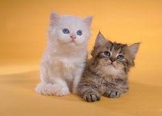 Adorable Persian Kittens and Persian Cat Wallpapers - Photo: Fluffy Persian Kittens - Persian Cat Photography 36 Baby Kittens, Cats And Kittens, I Love Cats, Cute Cats, Baby Animals, Cute Animals, Pet Mice, Persian Kittens, Cat Photography