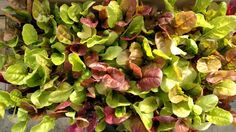 #growyourownfood , lettuce is so easy to grow and so dang pretty